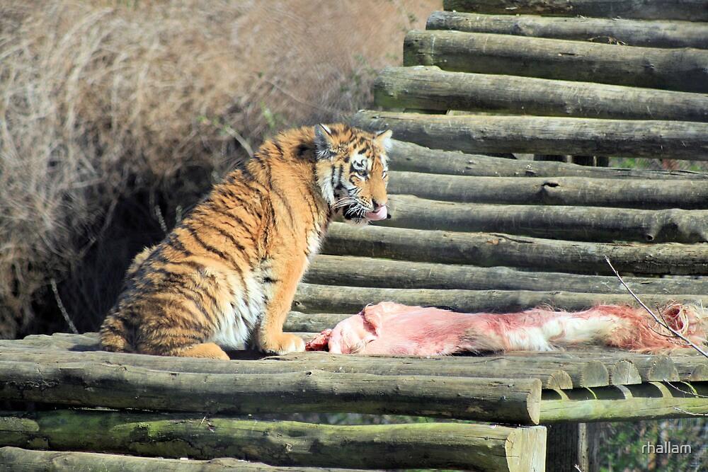 Tiger 2 by rhallam