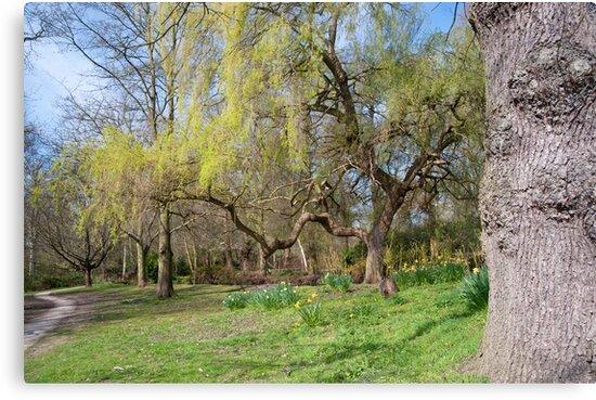 Weeping Willow: Springtime at Bushey Park, Hampton Court, by DonDavisUK