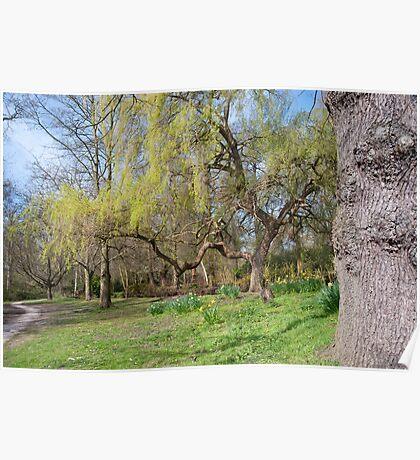 Weeping Willow: Springtime at Bushey Park, Hampton Court, Poster