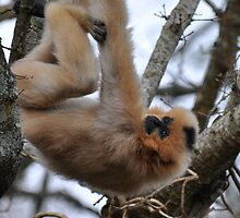 Hanging Around Gibbon-Style by ApeArt