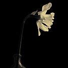 Daffodil by David Robinson