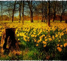Daffodils - Marie Curie field of hope by Spadgie