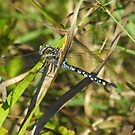 Blue Spotted Dragons Do Exist! by Tracy Faught