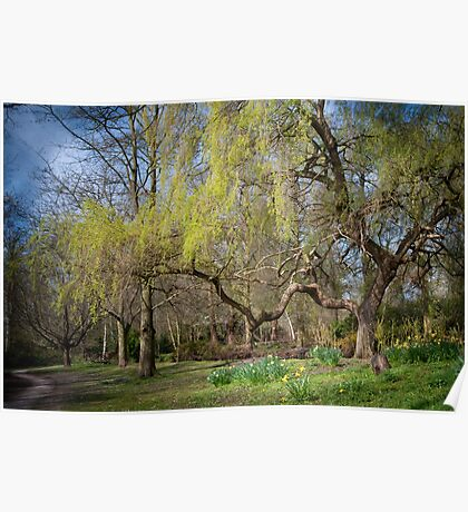 Weeping Willow in Spring Poster