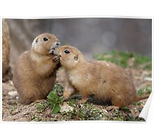 Kiss me Quick! (Black-Tailed Prairie Dogs) Poster