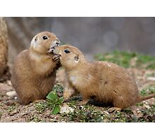 Kiss me Quick! (Black-Tailed Prairie Dogs) Photographic Print