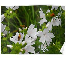 White Musk Mallow and Butterflies Poster