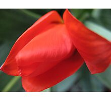 Crazy Red Hot Tulip Photographic Print