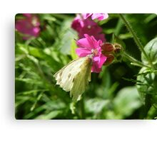 cabbage white resting Canvas Print