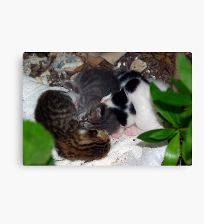 Street Kittens Canvas Print