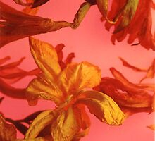 fresia pink by elisabeth tainsh