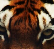 Tiger Eyes - Colchester Zoo by MichelleRees