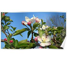 Gorgeous Apple Blossoms Poster