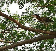 Green Heron by Gary Horner