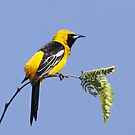 Hooded Oriole by tomryan
