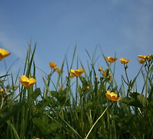 Buttercups in British Summer by roskolewis