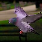 Pigeon in flight by Shehan Fernando
