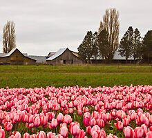 Barns near Tulip Town, Skagit Valley by Barb White