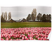 Barns near Tulip Town, Skagit Valley Poster