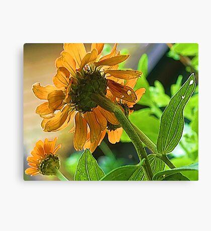 --Orange Zinnia - Afternoon Sun -- Bridgton,  Maine Canvas Print