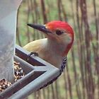 Rudy Red-Bellied Woodpecker by WalnutHill