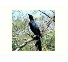 """""""I'm too Proud"""" Great tailed Grackle  Art Print"""