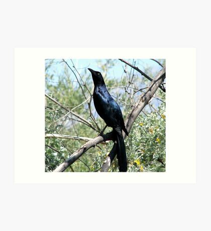 """I'm too Proud"" Great tailed Grackle  Art Print"