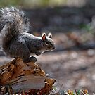 Grey Squirrel - Ottawa, Ontario by Michael Cummings