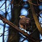Coopers Hawk - Ottawa, Ontario by Michael Cummings