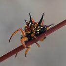 Spiny Spider - Mt Cannibal, Gippsland Australia by Bev Pascoe