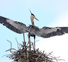 Wing Span II / Great Blue Heron by Gary Fairhead
