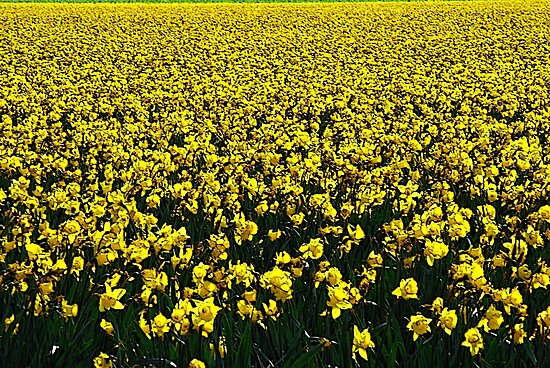 Daffodil Field Forever by Tori Snow