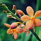 Peachy Vanda by splikik