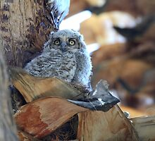 Great Horned Owl Chick by DavidQuanrud