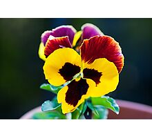 Backlit pansies on a summer day macro Photographic Print