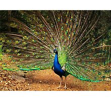 Peacock Displaying Photographic Print