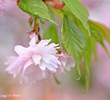 Cherry blossom by pogomcl
