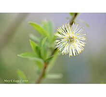 Blown pussywillow Salix Photographic Print