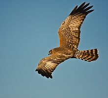 Hunting Harrier by Hedoff
