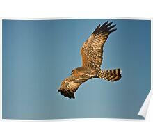 Hunting Harrier Poster