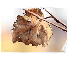 White birch leaf Betula papyrifera Poster