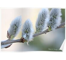 Pussywillow blooms Salix Poster
