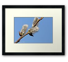 Pussywillow against a blue sky Framed Print