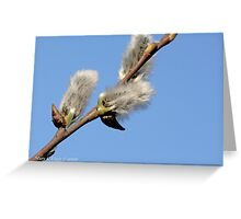 Pussywillow against a blue sky Greeting Card