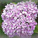 Many small - lovely big Hydrangea by EdsMum
