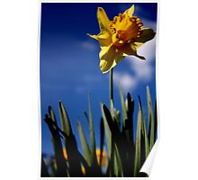 Single Daffodil in the Blue Poster