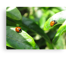 Two ladybirds going their own way Canvas Print