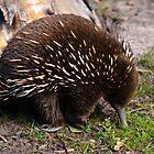 echidna - mount field np., tasmania by col hellmuth