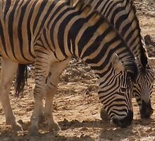 Zebra - chatting over lunch - Colchester Zoo by MichelleRees