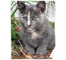 little gray kitty Poster